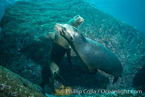 California sea lions underwater, Sea of Cortez, Mexico. Baja California, Zalophus californianus, natural history stock photograph, photo id 31260