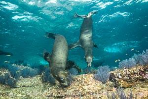 California sea lions underwater, Sea of Cortez, Mexico, Zalophus californianus