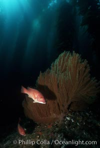 California sheephead, gorgonian. San Clemente Island, California, USA, Semicossyphus pulcher, natural history stock photograph, photo id 01124