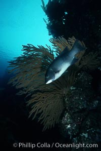 California sheephead, female. San Clemente Island, California, USA, Semicossyphus pulcher, natural history stock photograph, photo id 01937