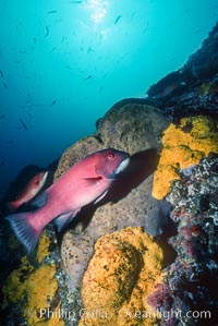 Image 03734, Sheephead and sulfur sponges, Roca Ben., Semicossyphus pulcher