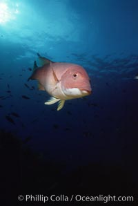 Pacific torpedo ray, Farnsworth Banks, Catalina, Torpedo californica. Catalina Island, California, USA, Semicossyphus pulcher, natural history stock photograph, photo id 05174