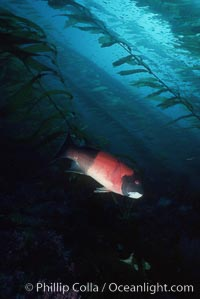 Sheephead. California, USA, Semicossyphus pulcher, natural history stock photograph, photo id 05182