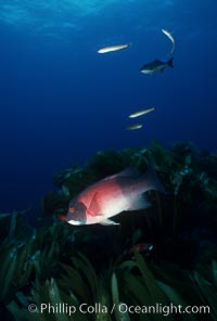 California sheephead, adult male. San Clemente Island, California, USA, Semicossyphus pulcher, natural history stock photograph, photo id 07072