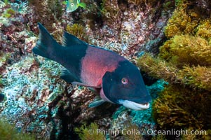 Sheephead wrasse, adult male coloration. Guadalupe Island (Isla Guadalupe), Baja California, Mexico, Semicossyphus pulcher, natural history stock photograph, photo id 09629
