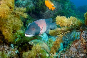 Sheephead wrasse, adult male coloration, Semicossyphus pulcher, Guadalupe Island (Isla Guadalupe)