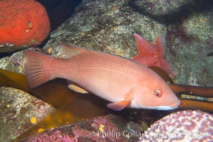 Sheephead wrasse, female, Semicossyphus pulcher