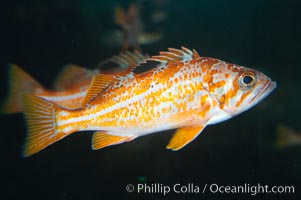 Canary rockfish, juvenile.  The bright orange color of this rockfish will not be so visible at depth, where seawater filters out the red lightwaves that allow this color to be seen., Sebastes pinniger, natural history stock photograph, photo id 13697