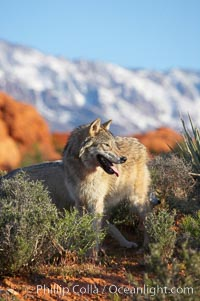Gray wolf., Canis lupus, natural history stock photograph, photo id 12424