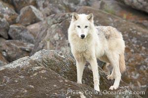 Gray wolf, Sierra Nevada foothills, Mariposa, California, Canis lupus