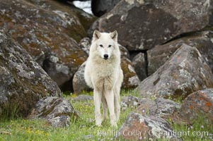 Gray wolf, Sierra Nevada foothills, Mariposa, California., Canis lupus, natural history stock photograph, photo id 16028