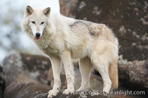 Gray wolf, Sierra Nevada foothills, Mariposa, California., Canis lupus, natural history stock photograph, photo id 16043