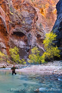 Image 26130, Photographer in the Virgin River Narrows, with flowing water, autumn cottonwood trees and towering red sandstone cliffs. Virgin River Narrows, Zion National Park, Utah, USA, Phillip Colla, all rights reserved worldwide.   Keywords: autumn:canyon:canyoneering:cottonwood:fall:fall colors:gorge:hike:hiker:hiking:national parks:outdoors:outside:photographer:rapids:river:sandstone:scene:scenic:self portrait:stream:tree:usa:utah:virgin river:virgin river narrows:water:weird:zion national park.