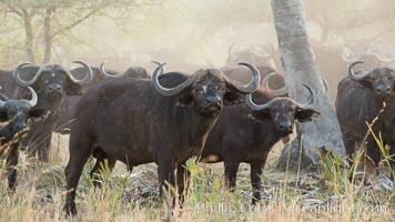 Cape Buffalo herd, Meru National Park, Kenya., Syncerus caffer, natural history stock photograph, photo id 29637