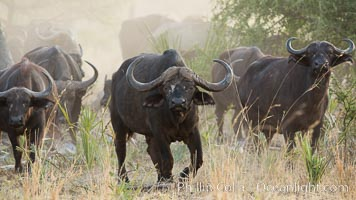 Cape Buffalo herd, Meru National Park, Kenya., Syncerus caffer, natural history stock photograph, photo id 29638