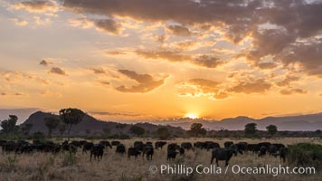 Cape Buffalo herd at sunset, Meru National Park, Kenya., Syncerus caffer, natural history stock photograph, photo id 29640