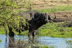 Cape Buffalo, Meru National Park, Kenya., Syncerus caffer, natural history stock photograph, photo id 29657