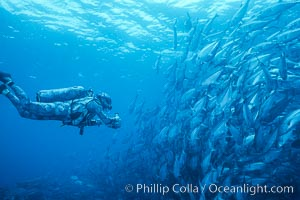 Jacks, videographer Dr. Harrison Stubbs. Cocos Island, Costa Rica, Caranx sexfasciatus, natural history stock photograph, photo id 02017