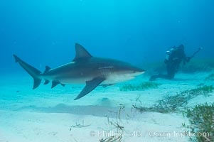 Bull shark. Great Isaac Island, Bahamas, Carcharhinus leucas, natural history stock photograph, photo id 12729