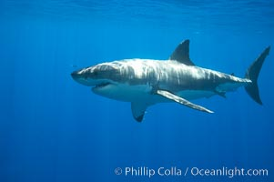 A great white shark is countershaded, with a dark gray dorsal color and light gray to white underside, making it more difficult for the shark's prey to see it as approaches from above or below in the water column.  The particular undulations of the countershading line along its side, where gray meets white, is unique to each shark and helps researchers to identify individual sharks in capture-recapture studies. Guadalupe Island is host to a relatively large population of great white sharks who, through a history of video and photographs showing their  countershading lines, are the subject of an ongoing study of shark behaviour, migration and population size, Carcharodon carcharias, Guadalupe Island (Isla Guadalupe)