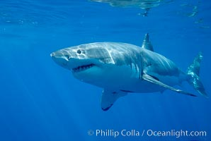 Great white shark, Carcharodon carcharias, Guadalupe Island (Isla Guadalupe)