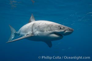 Great white shark, underwater. Guadalupe Island (Isla Guadalupe), Baja California, Mexico, Carcharodon carcharias, natural history stock photograph, photo id 21388