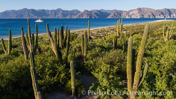 Cardon Cactus on Isla San Jose, Aerial View, Baja California