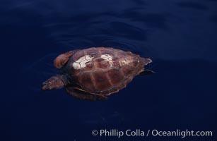 Juvenile loggerhead turtle basking at surface, Caretta caretta, Sao Miguel Island