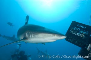 Caribbean reef shark swims by a box of bait, Carcharhinus perezi