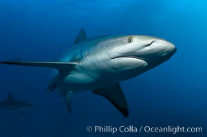Caribbean reef shark, ampullae of Lorenzini visible on snout. Bahamas, Carcharhinus perezi, natural history stock photograph, photo id 10550