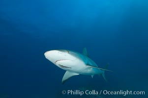 Caribbean reef shark with small sharksucker visible on underside, Carcharhinus perezi, Echeneis naucrates