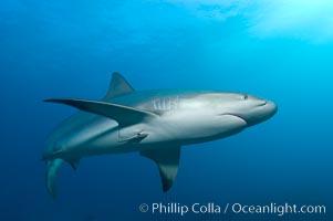Image 10583, Caribbean reef shark with small sharksucker visible on underside. Bahamas, Carcharhinus perezi, Echeneis naucrates