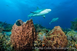 Caribbean reef shark swims over sponges and coral reef. Bahamas, Carcharhinus perezi, natural history stock photograph, photo id 31978
