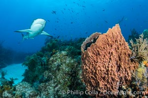 Caribbean reef shark swims over sponges and coral reef, Carcharhinus perezi