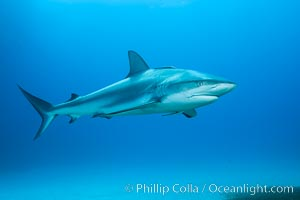 Caribbean reef shark. Bahamas, Carcharhinus perezi, natural history stock photograph, photo id 31981