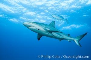 Caribbean reef shark with fishing hook, Carcharhinus perezi