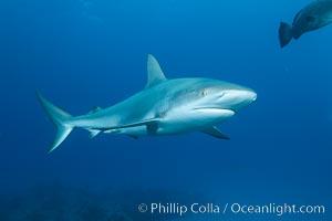 Caribbean reef shark. Bahamas, Carcharhinus perezi, natural history stock photograph, photo id 31989