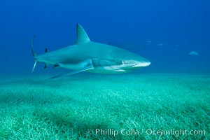 Caribbean reef shark swimming over eel grass. Bahamas, Carcharhinus perezi, natural history stock photograph, photo id 31991