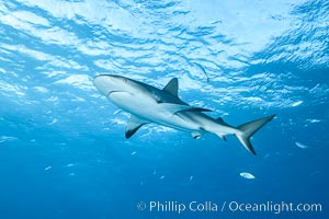 Caribbean reef shark. Bahamas, Carcharhinus perezi, natural history stock photograph, photo id 31992