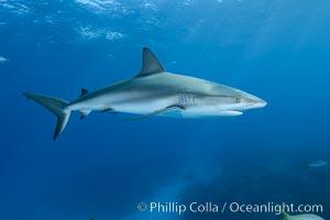 Caribbean reef shark. Bahamas, Carcharhinus perezi, natural history stock photograph, photo id 31995