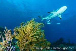 Caribbean reef shark swims over coral reef, Carcharhinus perezi