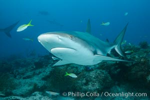 Caribbean reef shark. Bahamas, Carcharhinus perezi, natural history stock photograph, photo id 31999