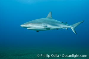 Caribbean reef shark swimming over eel grass. Bahamas, Carcharhinus perezi, natural history stock photograph, photo id 32008