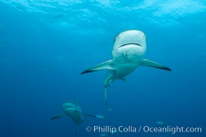 Caribbean reef shark. Bahamas, Carcharhinus perezi, natural history stock photograph, photo id 32010