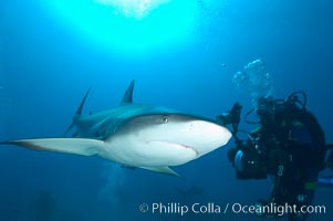 Caribbean reef shark swims in front of underwater photographer Jim Abernethy, Carcharhinus perezi