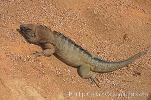 Caribbean rock iguana.  Rock iguanas play an important role in the Caribbean islands due to their diet of fruits, flowers and leaves.  The seeds pass through the digestive tract of the iguana and are left behind in its droppings, helping to spread the seeds the grow new plants, Cyclura