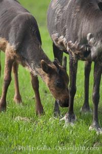 Caribou (reindeer), Rangifer tarandus