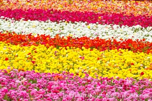 The Carlsbad Flower Fields, 50+ acres of flowering Tecolote Ranunculus flowers, bloom each spring from March through May