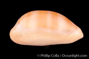 Carnelian Cowrie, Cypraea carneola crassa, natural history stock photograph, photo id 08003