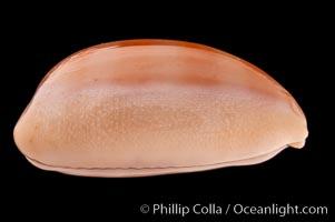 Carnelian Cowrie, Cypraea carneola propinqua